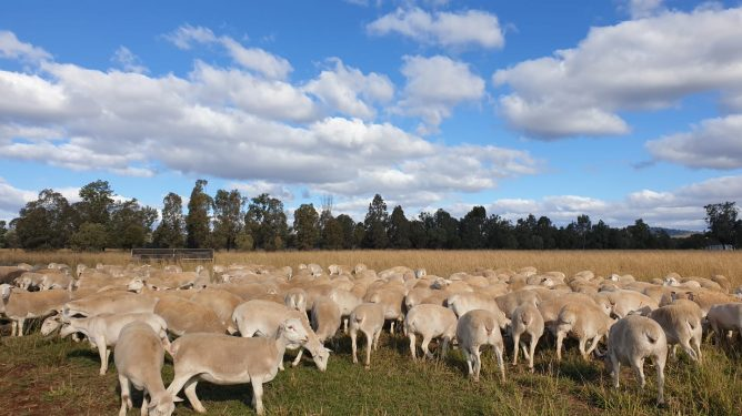 The Conscious Farmer Sheep!